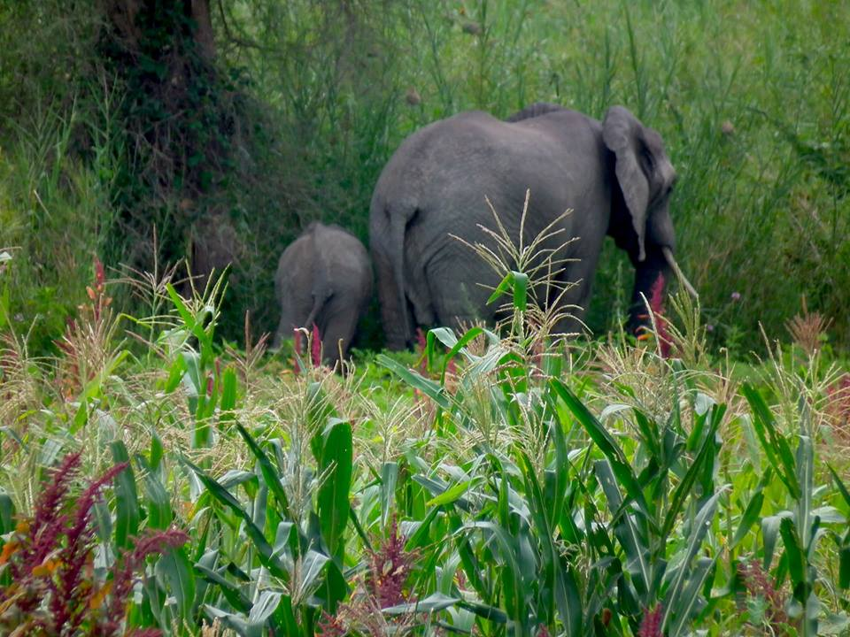 elephants crop-raiding